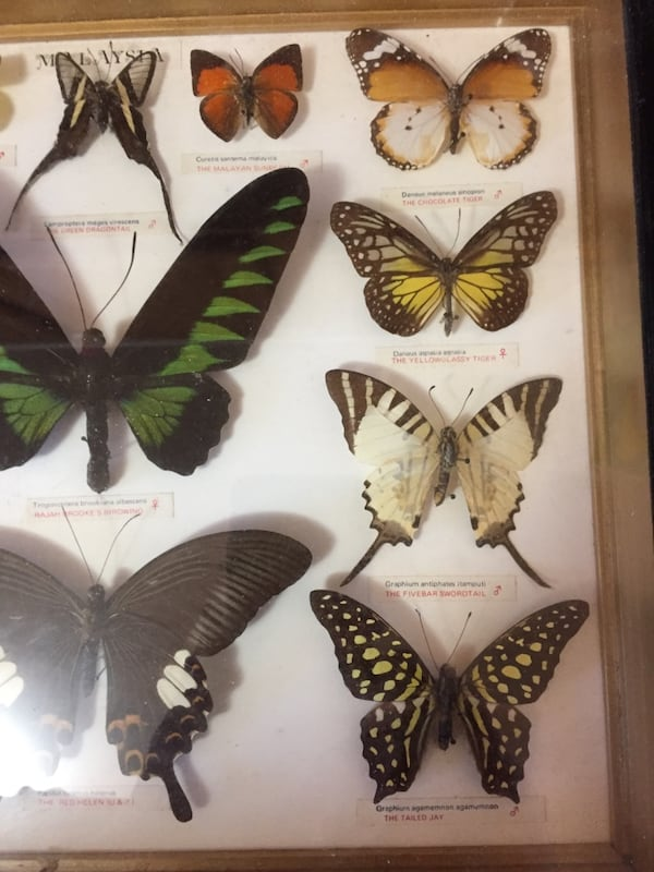 Beautiful display of butterflies are pinned framed in named 94b4f4fe-032b-4bbb-86c6-6e7a0d6162b1