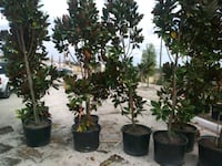 Magnolia trees delivered and planted Tampa, 33612