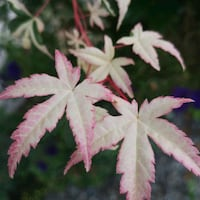 Japanese Maple pink Vancouver, V6L 1A5