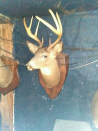 8 point Deer old taxidermy