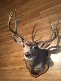 "Mule deer taxidermy  9 point 24"" Bluemont, 20135"