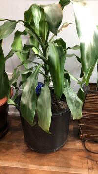 Plant with pot 3 feet tall with pot Toronto, M5V
