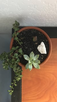 Potted succulents of your choice  Tucson, 85719