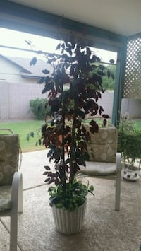 Green and Red leaf silk tree Phoenix, 85032