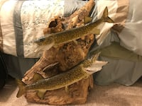 Mounted Chain Pickerel in real wood background  Cape Coral, 33914