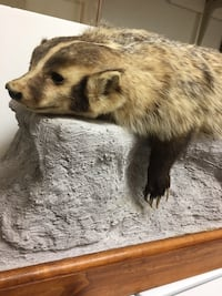 Taxidermy Full size BADGER! Las Vegas, 89117