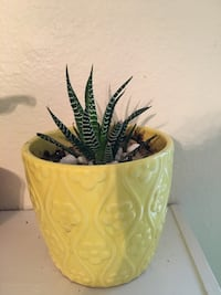 Succulent in yellow pot Monroeville, 15146