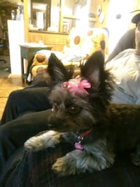 dog bows only $1 affordable, love making them for  Glendale, 85302