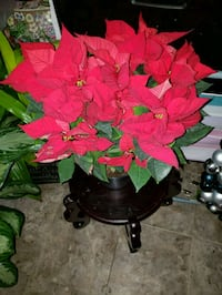Colores poinsettias  60 km