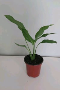 Lily plant with plastic case