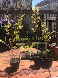 Forsythia Flower Plants Toronto, M8W 1Y3
