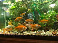 60 gallon fish tank with Eheim pump,decoration items, back round pictures, gold fishes and koi fishes ( they are very healthy), antique wooden stand with trap to prevent children open the draws, cleaning items, net, giant bag of  food ( it can feed the fi