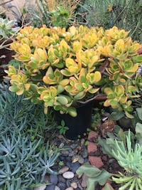 Rare Sunset yellow jade ( see pics) San Diego, 92116