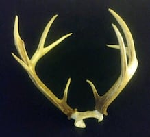 9 Point White Tail Deer Antlers