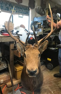 Elk Head Taxidermy Shoulder Mount 10 Point Woodlawn