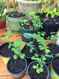 Moringa(drumsticks) plants for sale!! Highly nutritious and also called plant for life!!!! Chantilly, 20152