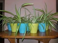 Spider Plants For Sale! Mississauga, L5M 1M6