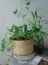 green leaf plant with white ceramic pot Montréal, H1Z 4L2