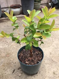 Guava, 3 years old and ready to produce frui Turlock, 95380