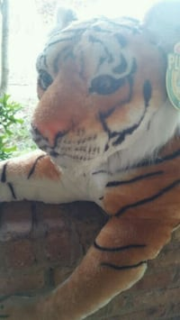 Large Auburn tiger in good condition