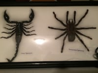 REAL Giant Scorpion and Tarantula Spider Frame - Framed Insect Edmonton, T6K 3S7