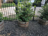 Potted shrub in whiskey barrel..3 of them Concord, 28027