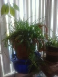Xtralarge spider plant with avacado plant