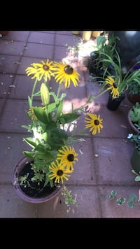 Black eyed Susan's, and lily in the pot Aurora, 80012