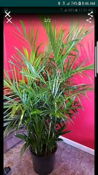 Large bamboo palm Clinton, 20735