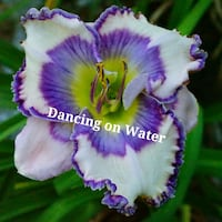 """Daylily """"Dancing On Water"""" Perennial Plant  Minneapolis, 55408"""