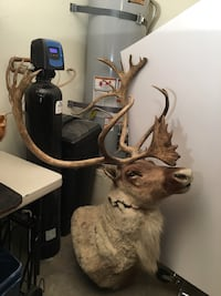 TAXIDERMY CARIBOU SHOULDER MOUNT WiTH SHOVEL Las Vegas, 89117