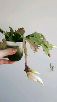 Christmas cactus rooted cutting Vienna, 22027