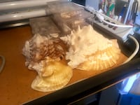 Conch shells & boxes of assorted shells Orlando, 32812