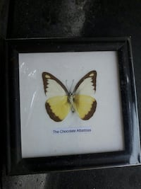 The Chocolate Albatross Butterfly framed collection Palm Harbor, 34684
