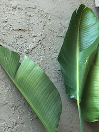 Live Giant tropical plant (meant for indoor or outside shade) Sacramento, 95828