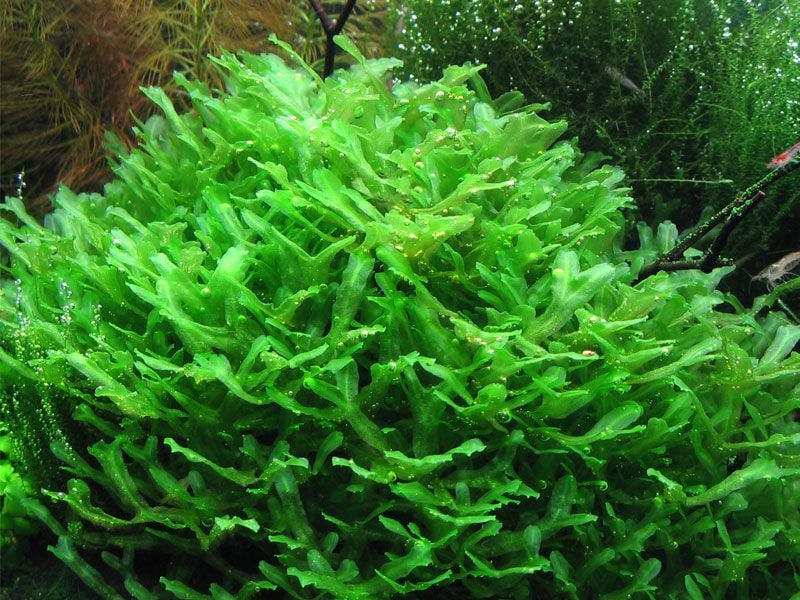 Pelia Moss - Fresh water Aquarium Plant 1