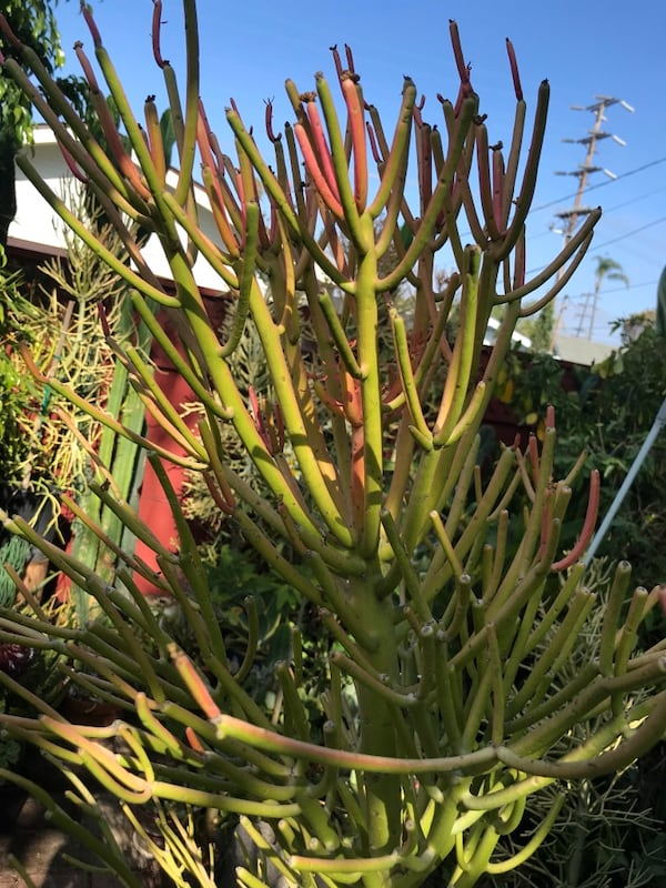 6 foot Fire Stick Succulent 0