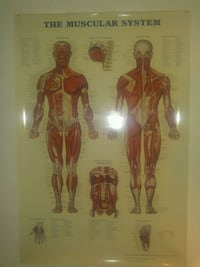 Fantastic Human Muscular System poster! Toronto, M4Y 2P1