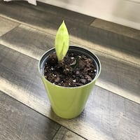 Snake plant (house plant); small