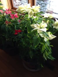 Huge poinsettia plants