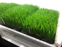 "Wheatgrass  10""x20 inch XL tray Surrey, V3T 2P1"