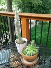 Tall cactus and succulent in clay pot Kitchener, N2K 4J7