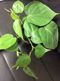 Philodendron $9 each Firm Price