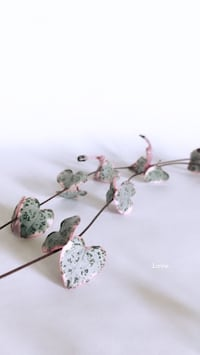 variegated string of hearts cuttings