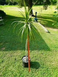 Houseplant Tree (Red-Edged Dracaena) Monroe Township, 08831