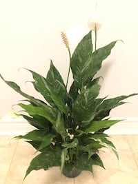 Variegated Peace Lily (Spathiphyllum)