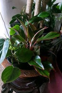 Aglenimia  plant with assorted foliges in container