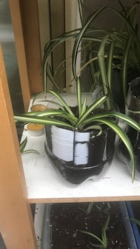Spider plants  London, N6H 1T3