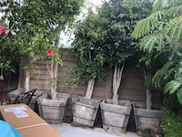 Set of 5 huge focus trees Fountain Valley, 92708