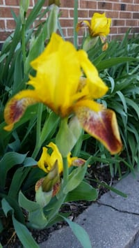 Historic Honorabile Iris
